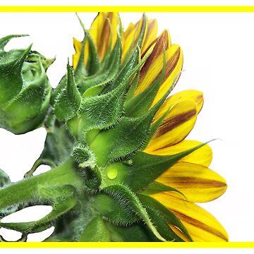 Sunflower by melaniedion
