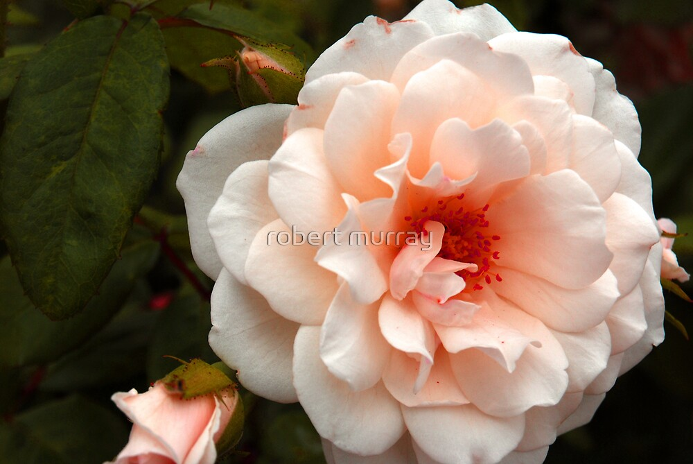 Another Rose by robert murray
