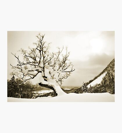 Old Furano Birch Photographic Print