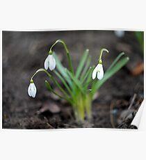 Snowdrop, spring, flower Poster