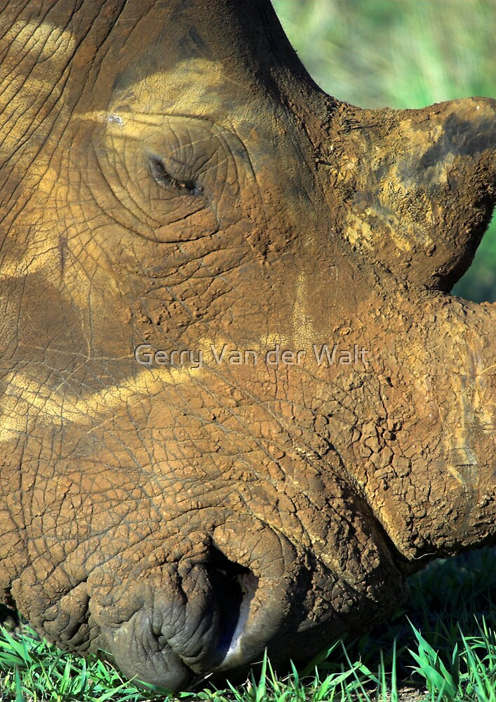 White Rhino Close Up Color by Gerry Van der Walt