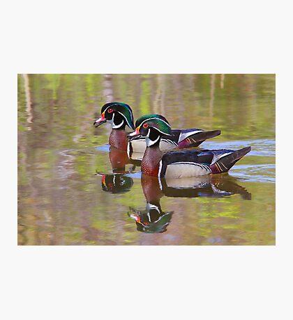 Twin Beaks - Wood Ducks Photographic Print