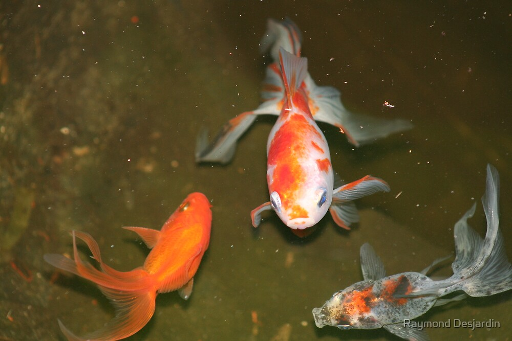 fish in the pond by Raymond Desjardin