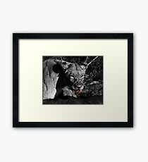 Lioness on a Kill - B&W Framed Print