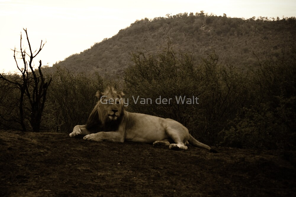 Old Fashioned Lion Photo by Gerry Van der Walt
