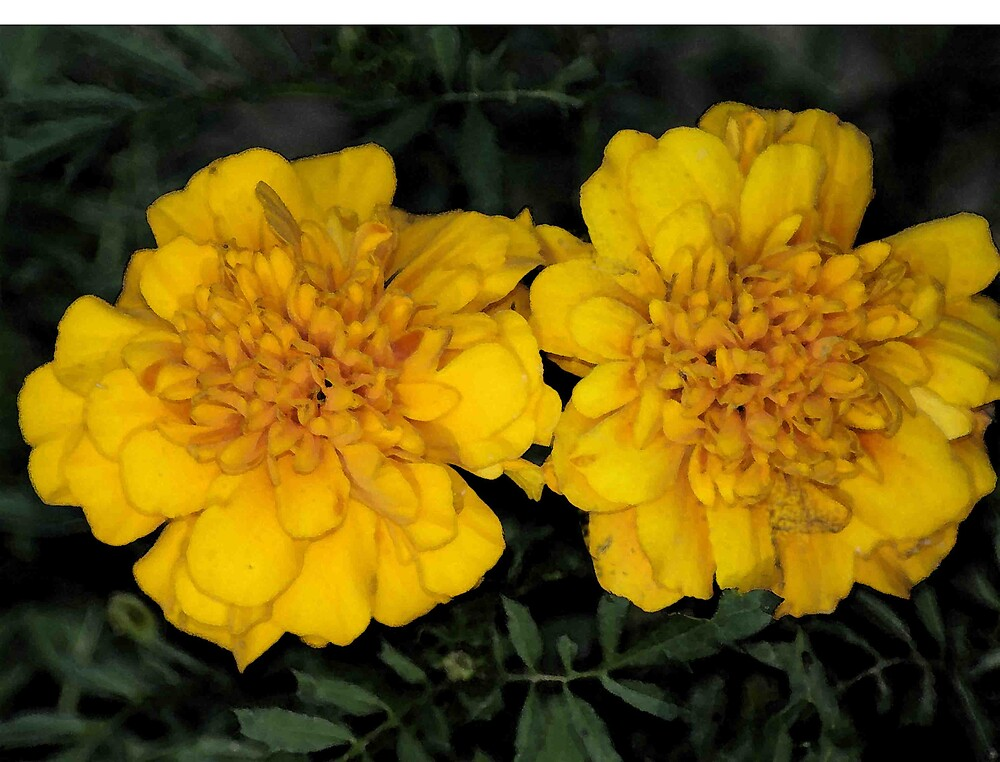 Zinnia violacea by Clarence R. Walker