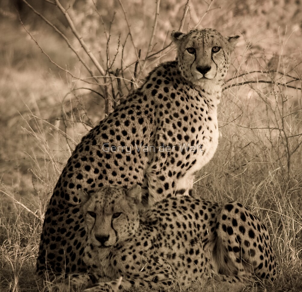 Cheetah Coalition by Gerry Van der Walt