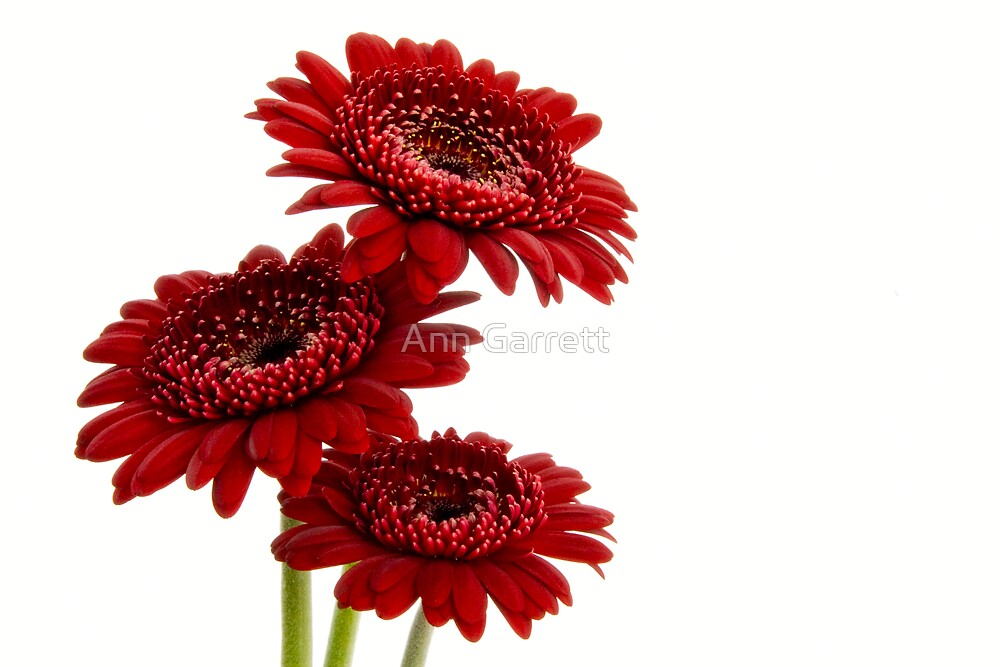 Three Gerbera Flowers by Ann Garrett