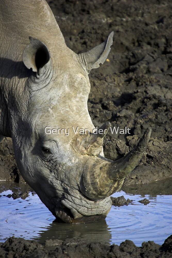 White Rhino Drinking by Gerry Van der Walt