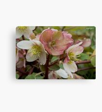 White and Pink Helleborus Flowers Canvas Print