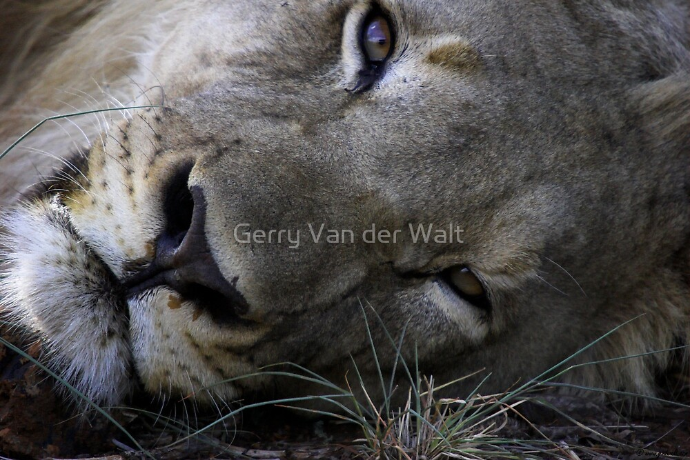 Male Lion Face Shot by Gerry Van der Walt