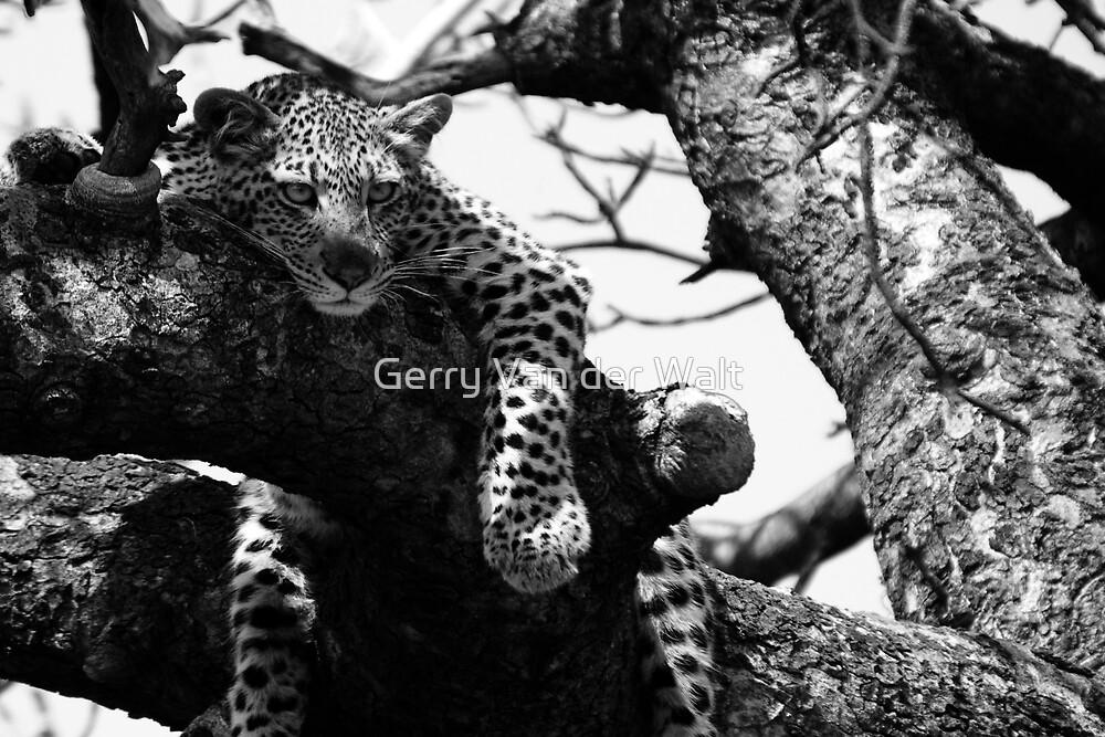 Leopard in Tree by Gerry Van der Walt