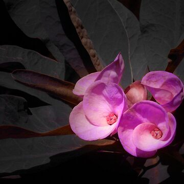 Pink Euphorbia by carlo
