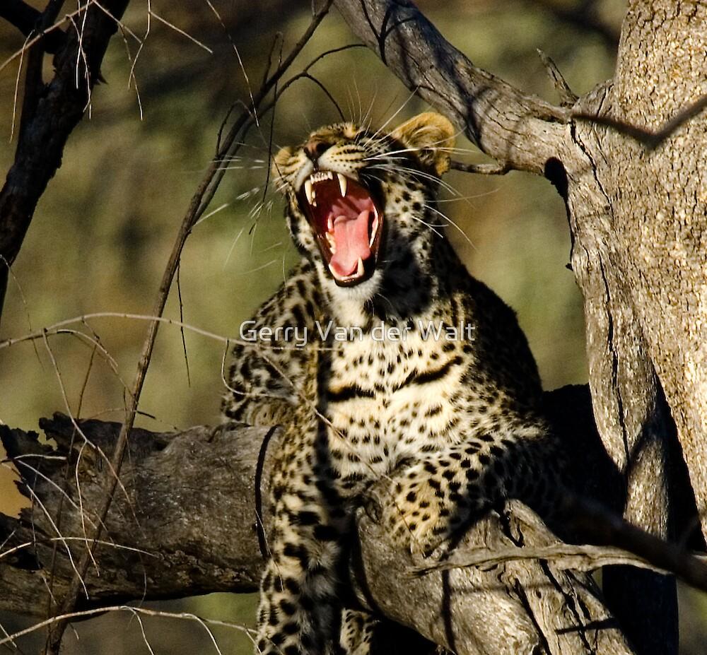 Leopard Yawn by Gerry Van der Walt