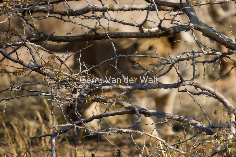 Lion Cub Hiding by Gerry Van der Walt