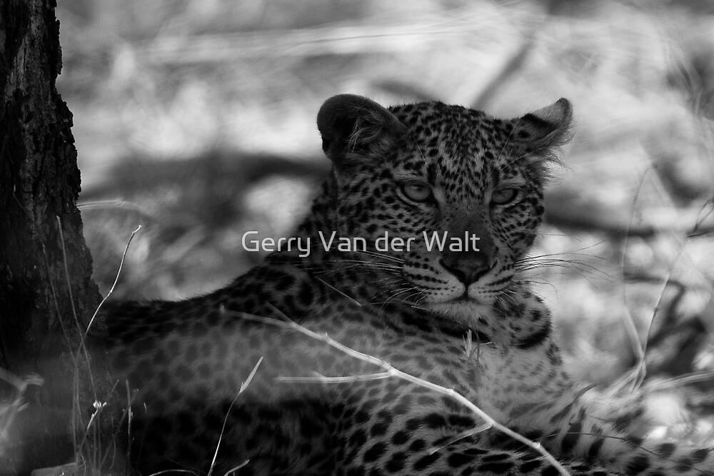 Leopard in Shade - B&W by Gerry Van der Walt