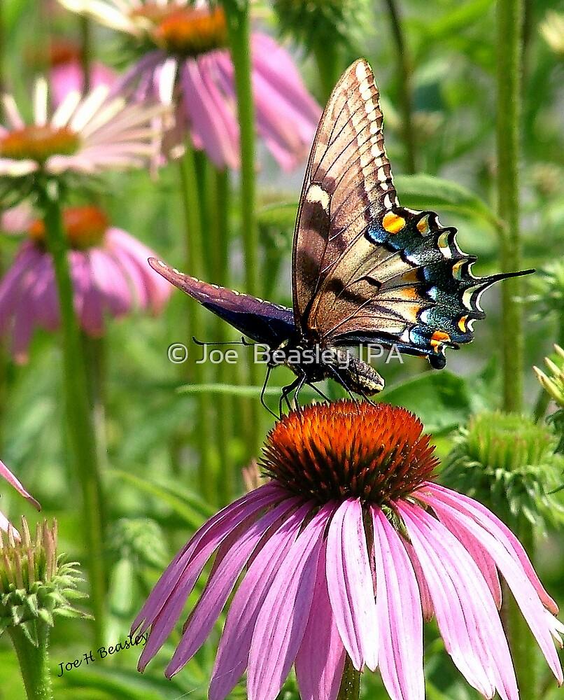 papillon sur la fleur by © Joe  Beasley IPA