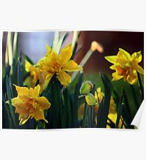 Double Daffodils Poster