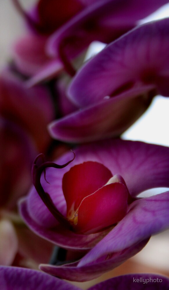 Orchid by kellyphoto