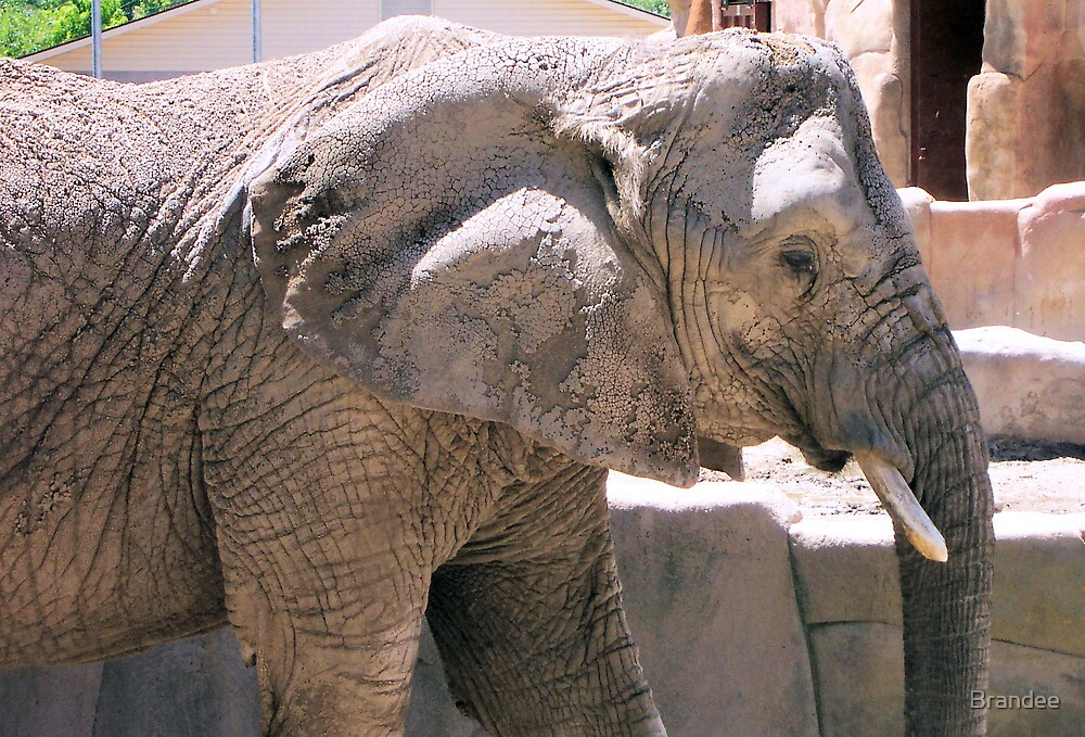 Elephant at the Zoo by Brandee