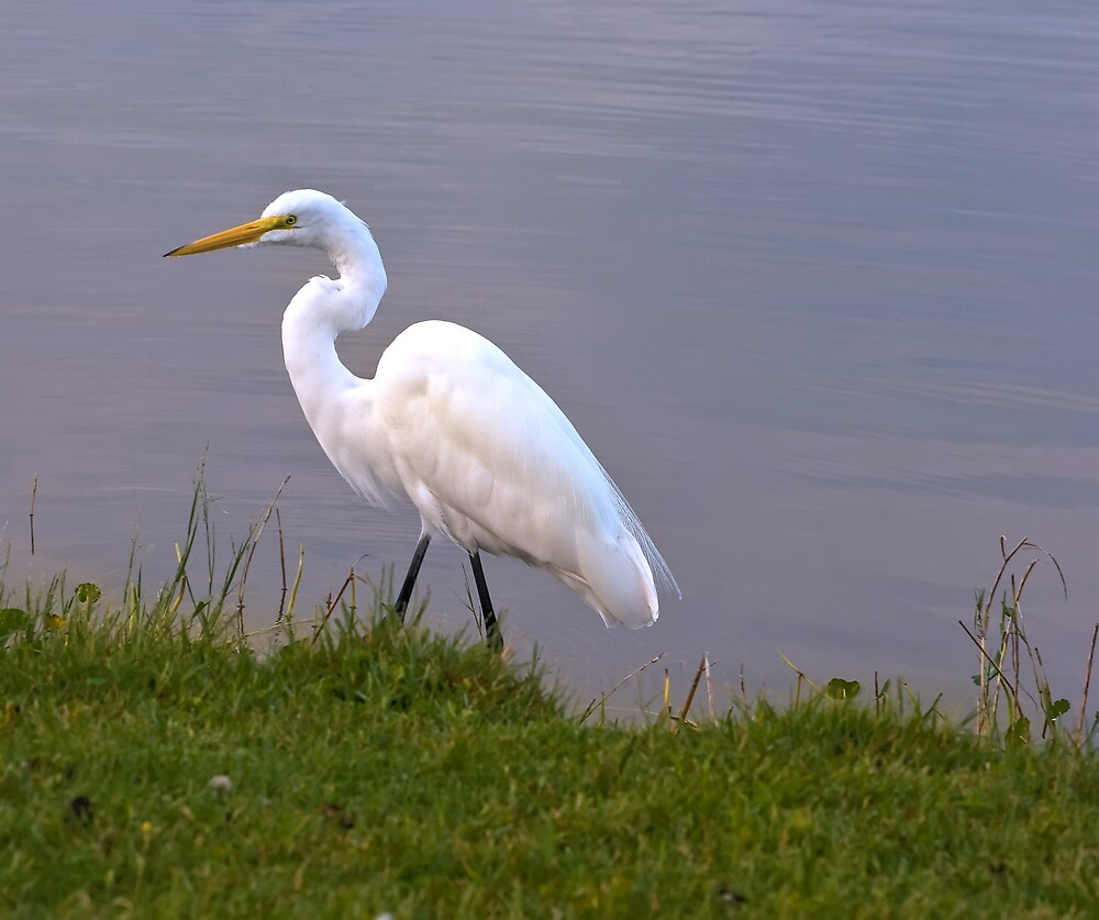 Great Egret Strolling in the Morning Sun  by Delores Knowles
