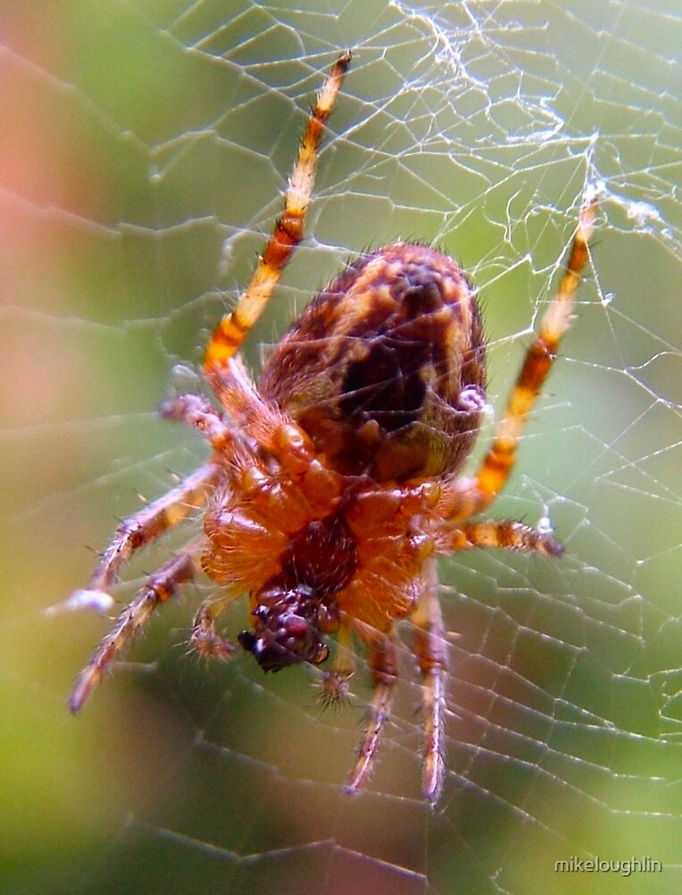 Garden spider by mikeloughlin