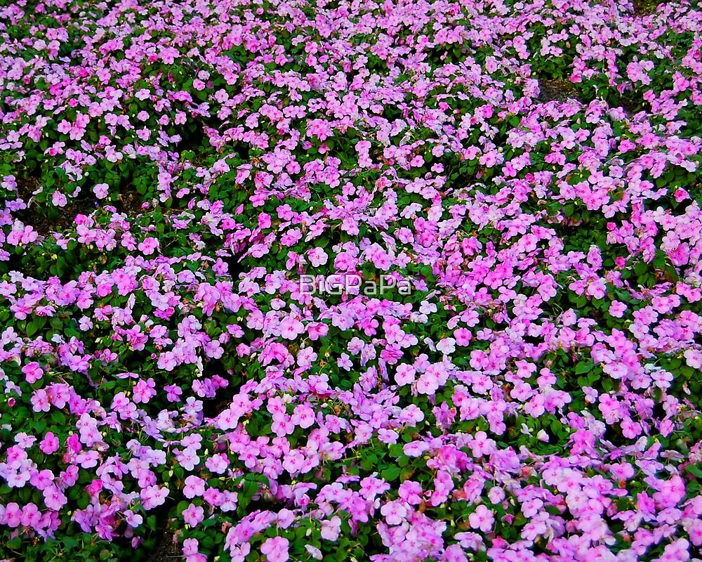 A sea of pink..... by BiGPaPa