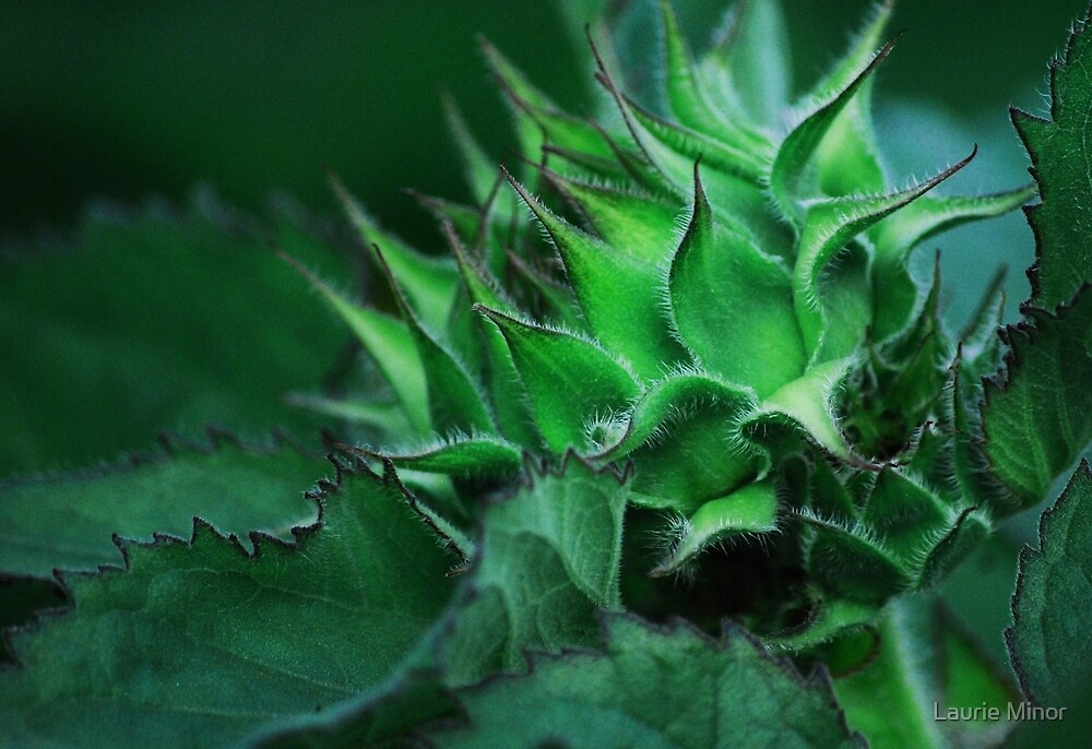 Sunflower Bud by Laurie Minor