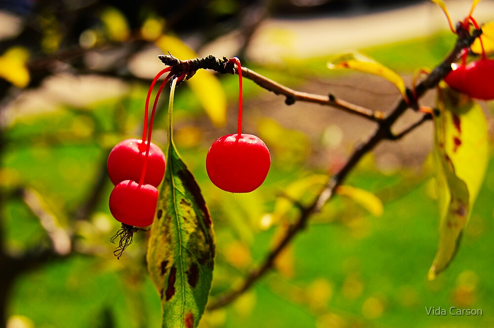 Cherries by Vida Carson