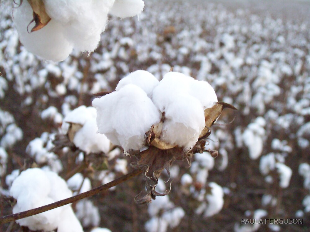 Bowl of Bama cotton by PAULA FERGUSON