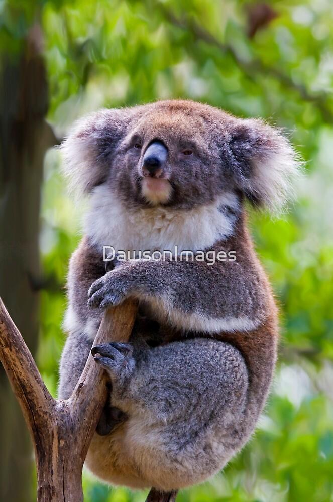 Treetop Koala by DawsonImages