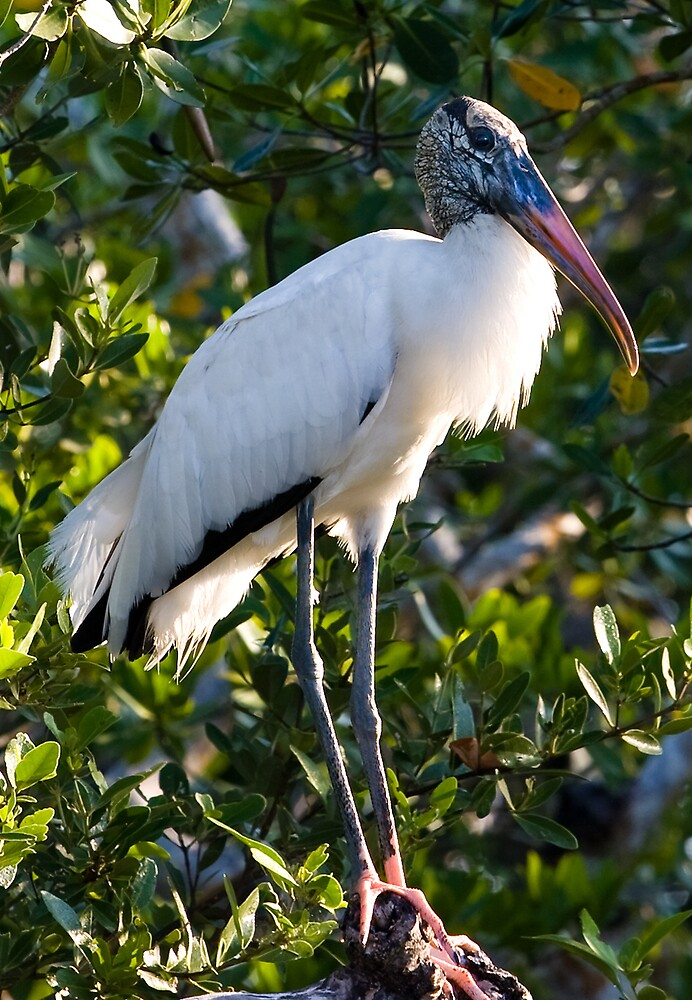 Wood Stork Greeting Card by Delores Knowles