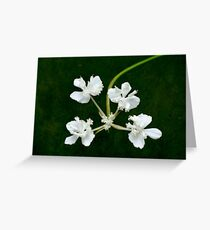 Xanthosia flower group Greeting Card