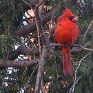 Cardinals in the garden by MarianBendeth