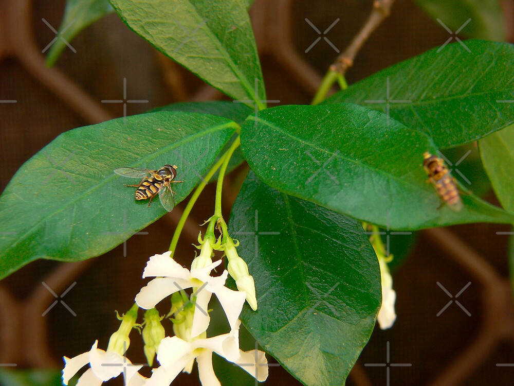 Hoverfly On Star Jasmine by Sandra Chung