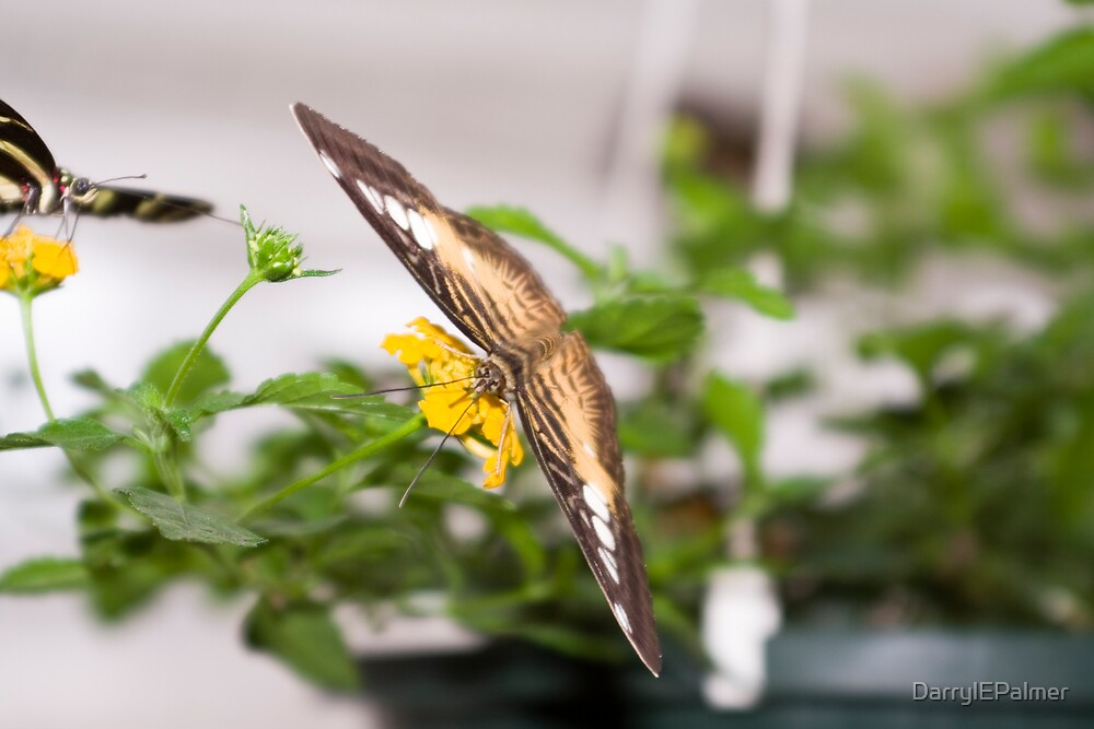 Butterflies by DarrylEPalmer