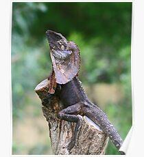 Frilled Lizard Poster