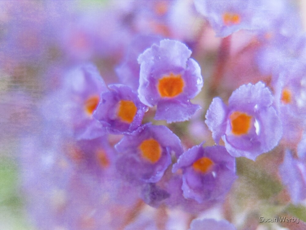 Butterfly Dreams by Susan Werby