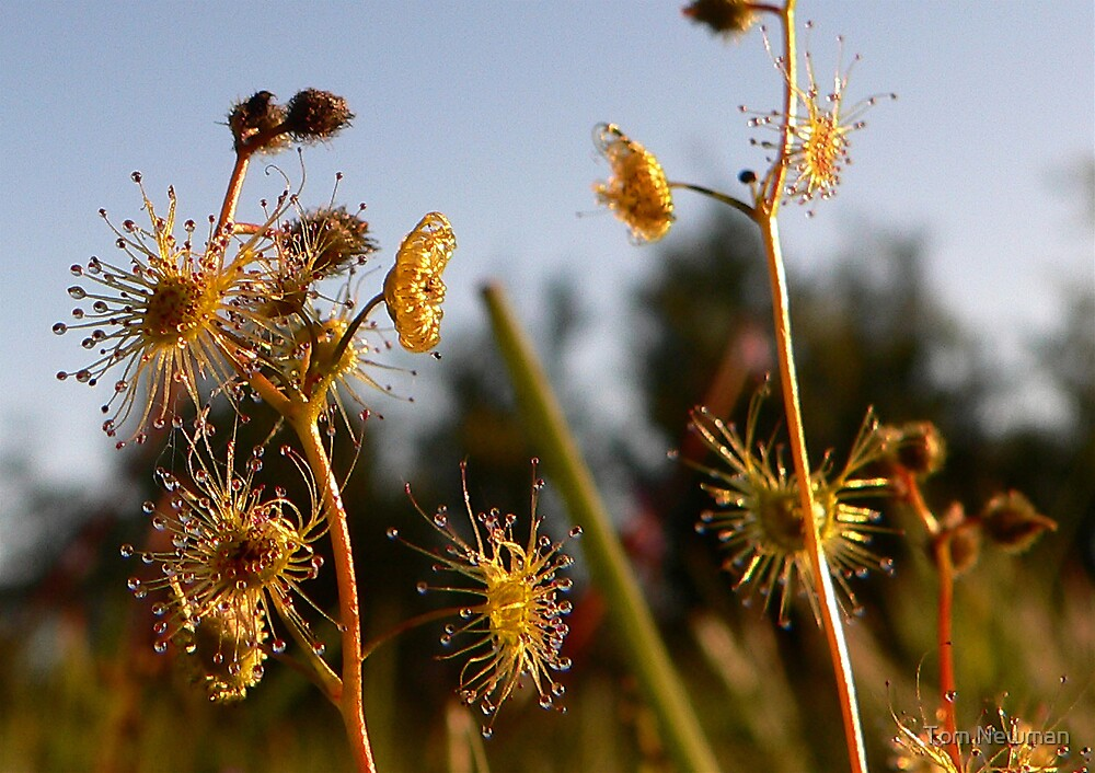Carnivorous Plants by Tom Newman