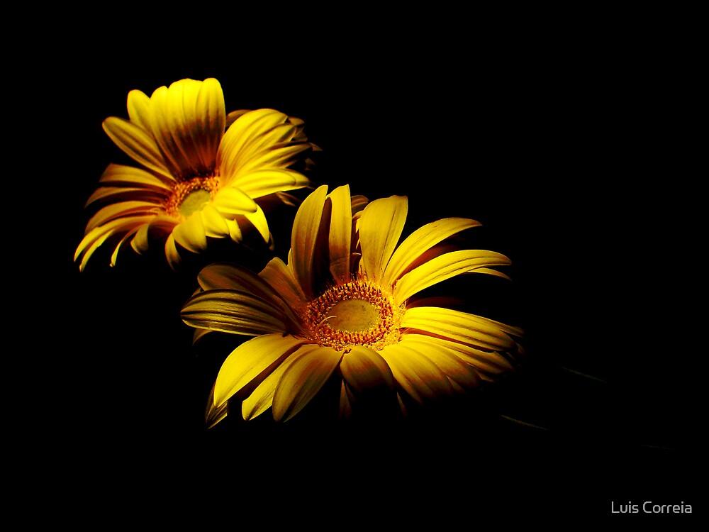 Golden Gerber by Luis Correia