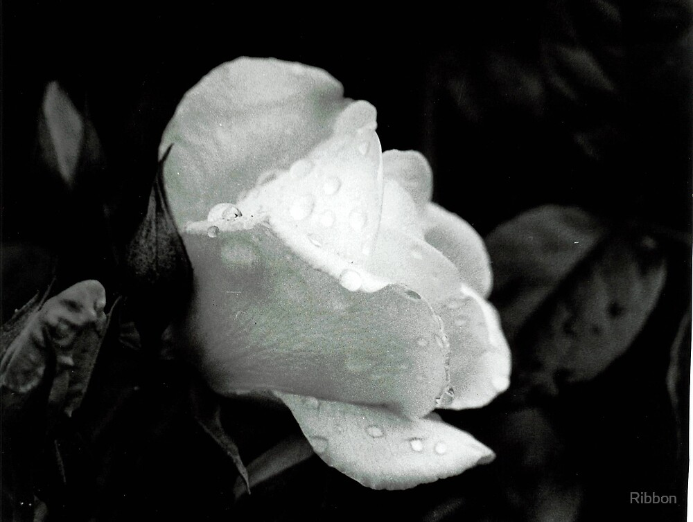 White Rose by Ribbon