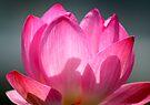 Lotus Bloom by Dave Lloyd