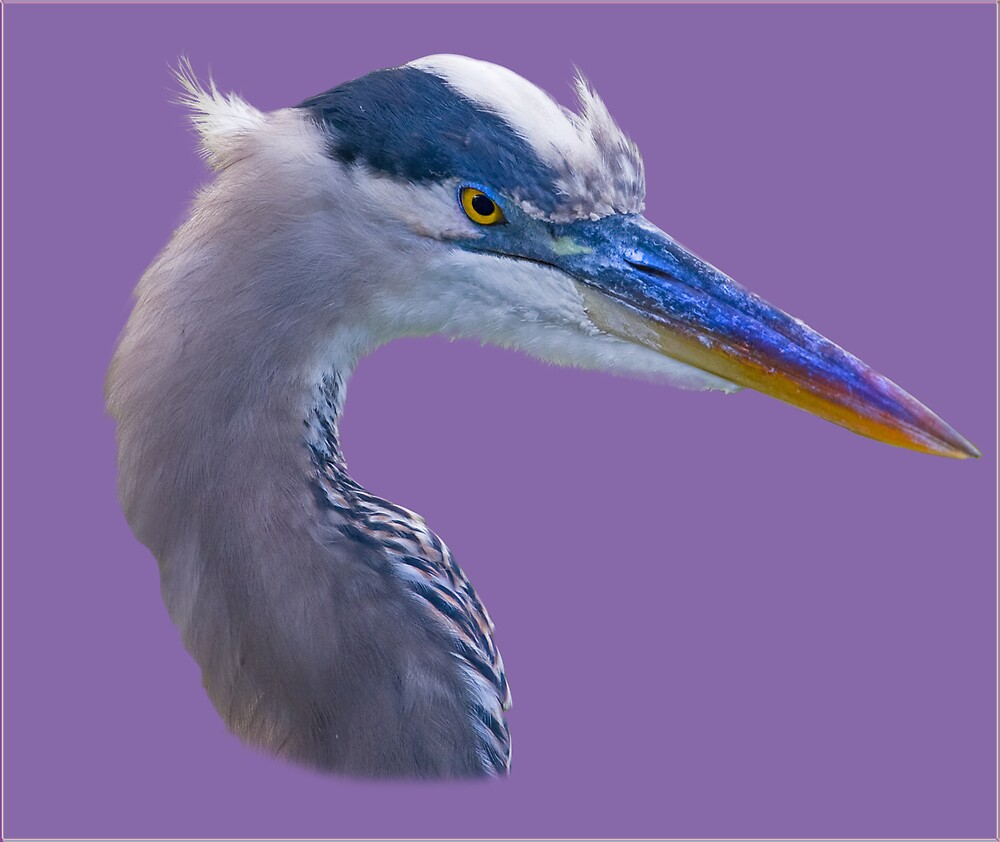 Great Blue Heron Feeling a Little Ornery by Delores Knowles