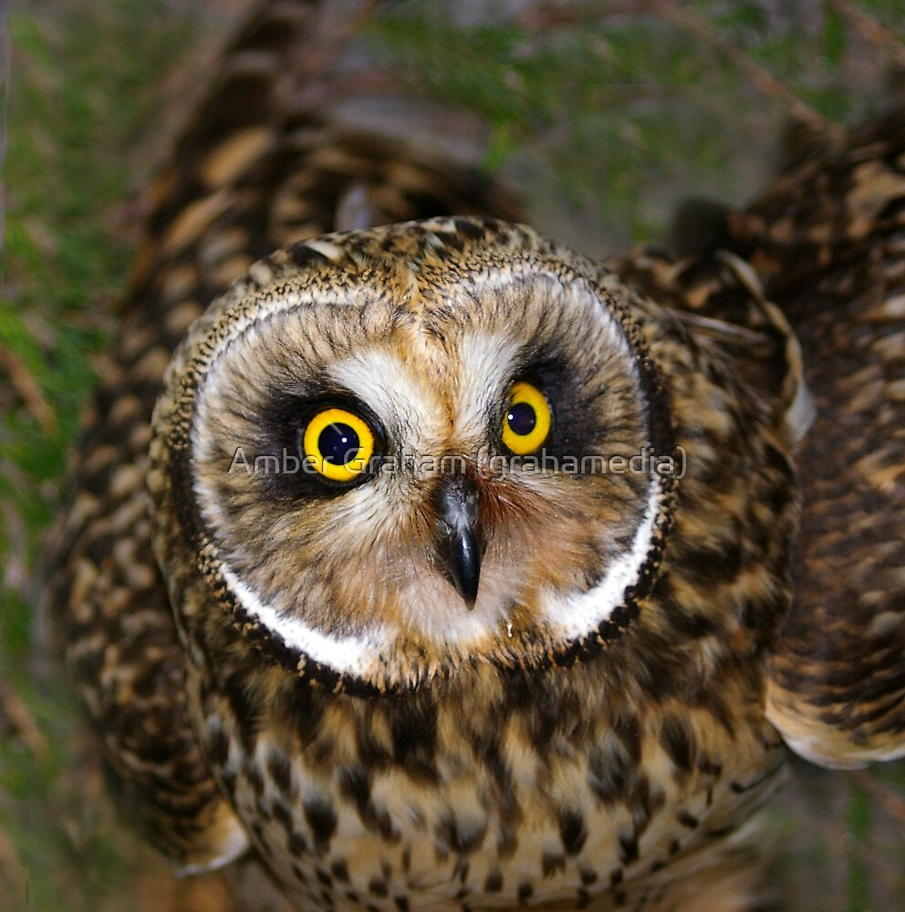 Short-eared Owl: Intensive-Eyed by Amber Graham (grahamedia)