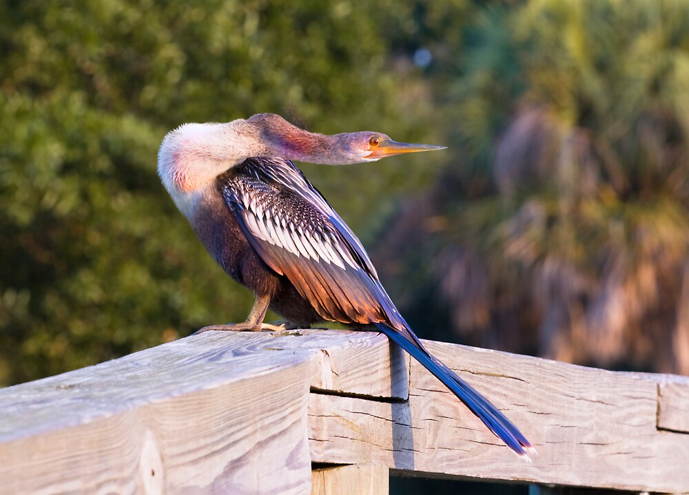 Angry Anhinga by Delores Knowles