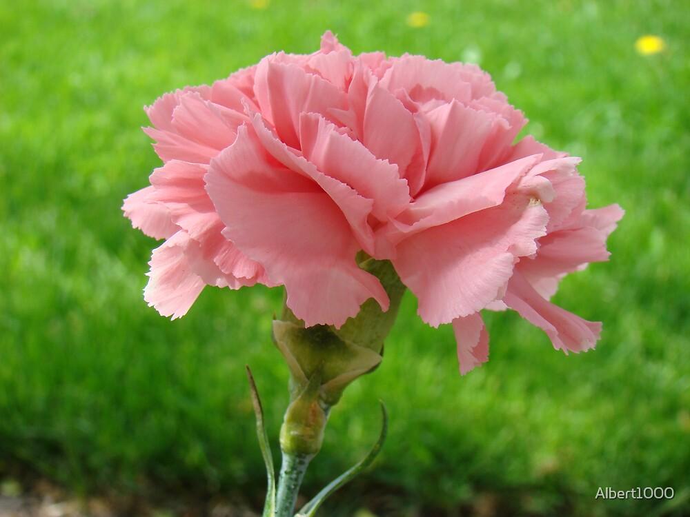 Carnation flower by Albert1000