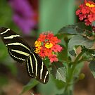 Longwing Butterfly On Lantana  by K D Graves Photography