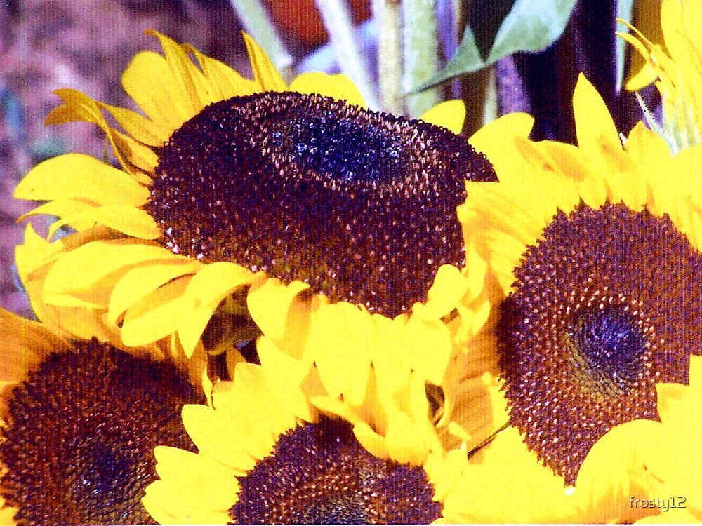 Sunflowers and Dew by frosty12