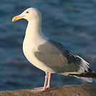 Southern California Seagull by K D Graves Photography