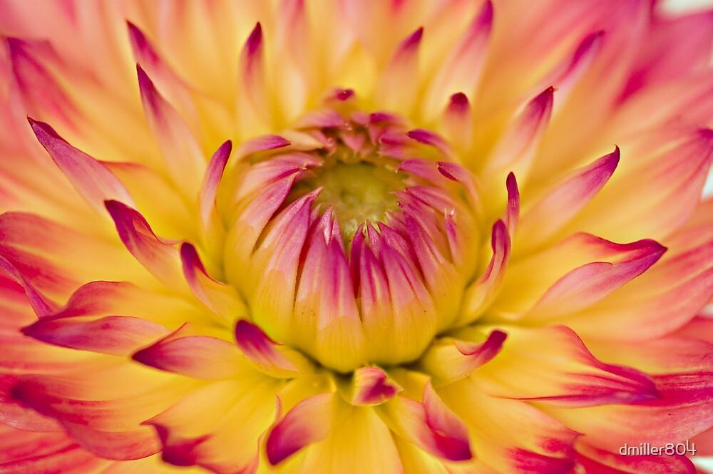 dahalia closeup by dmiller804